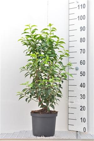 Prunus l. Angustifolia, 60 80, pk, 5ltr (resize).
