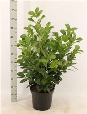 Prunus l. Etna 60 80 pk 10 l
