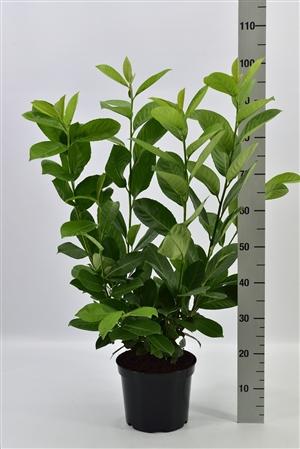 Prunus l. Rotundifolia 60 80 pk 5 ltr