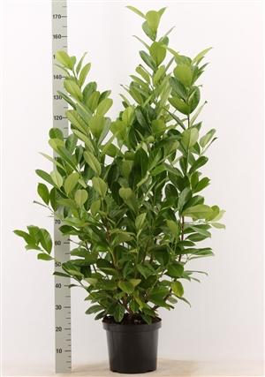 Prunus l. Rotundifolia 120 140 pk 12l