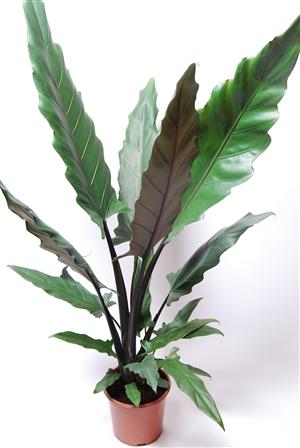 Alocasia Lauterbachiana pm 19 .2