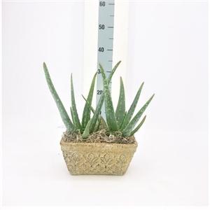 Aloe vera keramiek
