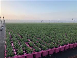 Pink kisses buitenveld met dauw ( Kwekerij Baas)