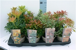 pieris mix aug