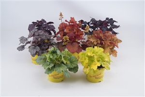 T 13 Heuchera Mix