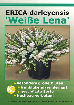 "Erica darleyensis ""Weiße Lena"""