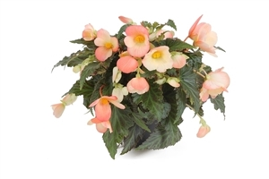 Begonia Waterfall Soft Orange