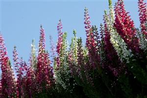 Heidepflanzen 1142