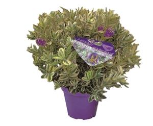 Buntlaubig lila