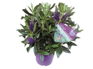Grete lila