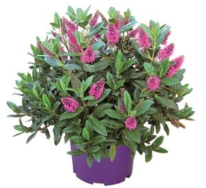 Hobby lila