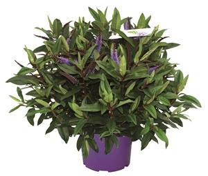 Ad Hebe P23 Granda Blue lila
