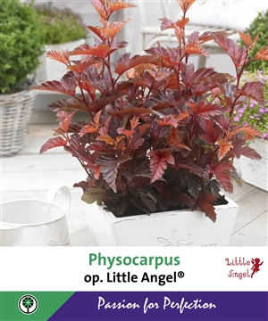 Physocarpus op. Little Angel   Beurspaneel