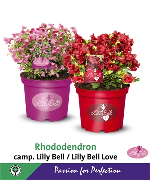 Rhododendron camp. Lilly Bell   Lilly Bell Love   Beurspaneel