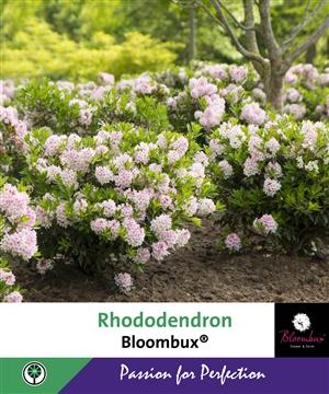 Rhododendron Bloombux   Beurspaneel