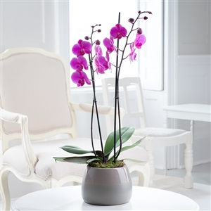 pink phalaenopsis twin stem orchid