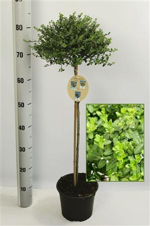 Eu jap Minimus 60 cm c3