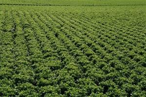 azalea veld