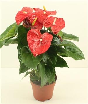 JD 88 Aloha Red pot 17cm Gold Quality (2)   kopie