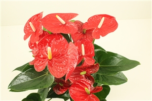 JD.9 Jambo Red, flower close up (1)