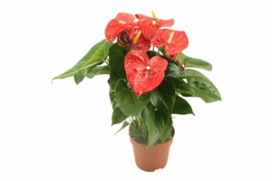 jd.88 aloha red, pot.17cm gold quality(2) witte achtergrond