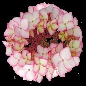 PinkCircles sortsvisning 630x630 w300 h300 i