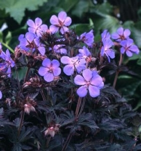cranesbill geranium black beauty