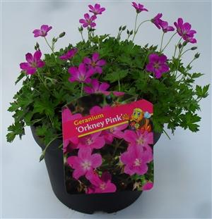Geranium Orkney Pink 17.1