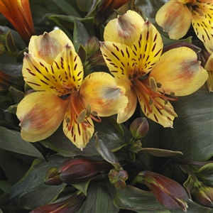 Garden Alstroemeria Summer Breeze cl up