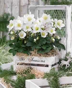 2x Helleborus Christmas Carol p12 in wit houten kistje