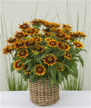 Rudbeckia Happy SmileyZ min