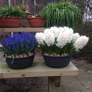 hyacint fairy white