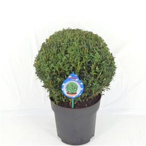 Buxus Sempervirens C5   Bol 28 30 cm   45gr   Etiket