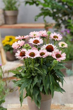 Echinacea SunSeekers Salmon Visions   4
