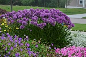 Allium Millenium fp landscape 2 (1)