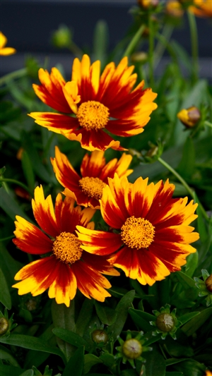 Coreopsis Little Bang Daybreak cu1