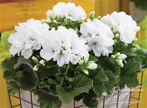 pelargonium grandiflorum franse geranium edelgeranie 4