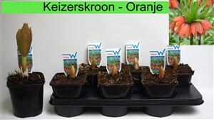 Fritillaria keizerskroon oranje maarrt
