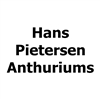 Hans-Pietersen-Anthuriums