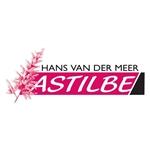 Hans-van-der-Meer-Astilbe